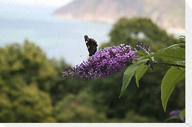 Red admiral on rose bay willow herb, Exmoor backdrop by Grace Johnson