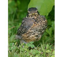 Baby Robin Fledgling Bird Photographic Print