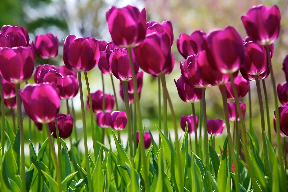 shimmering tulips by thvisions
