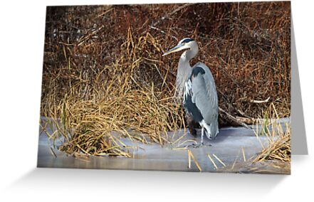 Great Blue Heron: Riparian Flora and Fauna by John Williams