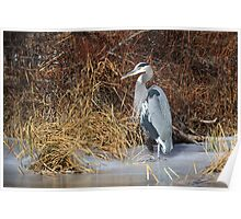 Great Blue Heron: Riparian Flora and Fauna Poster