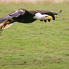 Bald eagle low flying with green grass background by Grace Johnson