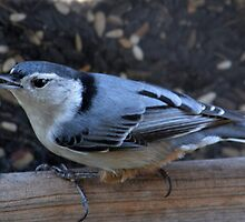 White Breasted Nuthatch by msegall