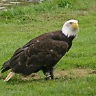 Bald eagle on grass by Grace Johnson
