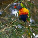 Rainbow Lorikeet by mncphotography