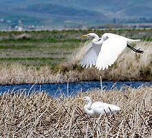 Great Egrets by Jeffrey Ralph