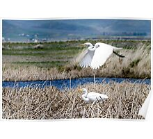 Great Egrets Poster