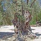 Tree with twisty truck in dry sunny Crete by Grace Johnson