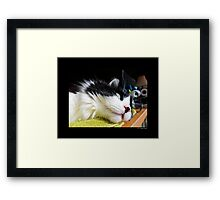 Felis Catus - Male Tuxedo Maine Coon Cat Watching Birds Framed Print