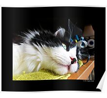 Felis Catus - Male Tuxedo Maine Coon Cat Watching Birds Poster