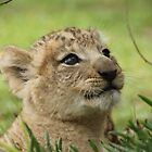 Lion Cub by knelliec