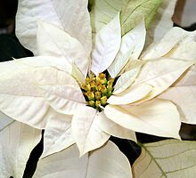 Winter White - Poinsettias by WalnutHill
