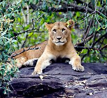 The Lion Cub by Pravine Chester