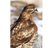 Red-tailed Hawk: Blood-caked Beak Photographic Print