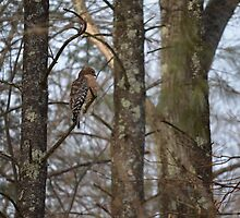 Regal Red-tailed Hawk by Willmoxdog