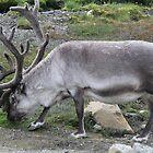 Svalbard Reindeer by Aaron Paul Stanley