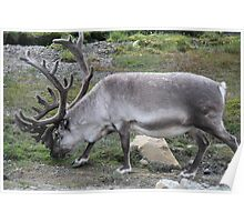 Svalbard Reindeer Poster