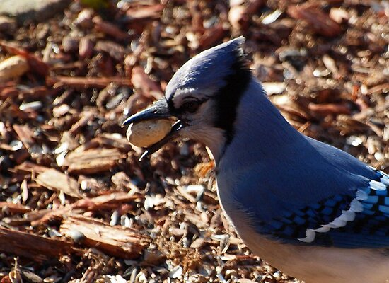 Profile of a stealing Blue Jay by Bine