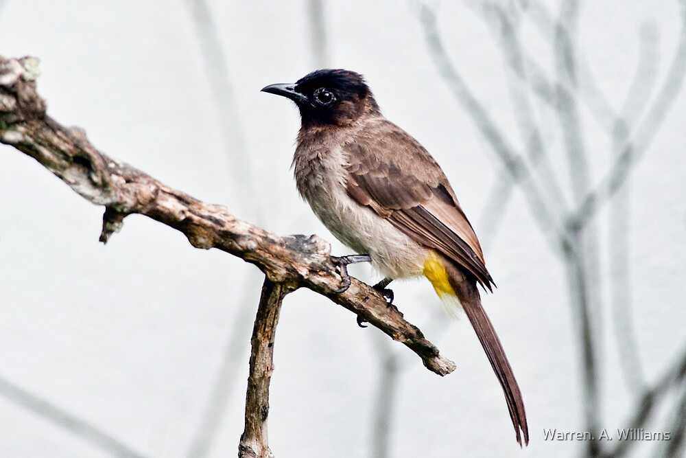 Dark Capped Bul-Bul by Warren. A. Williams