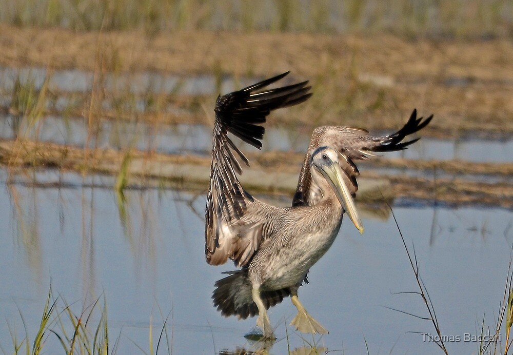 Step by Step ( Brown Pelican) by Photography by TJ Baccari