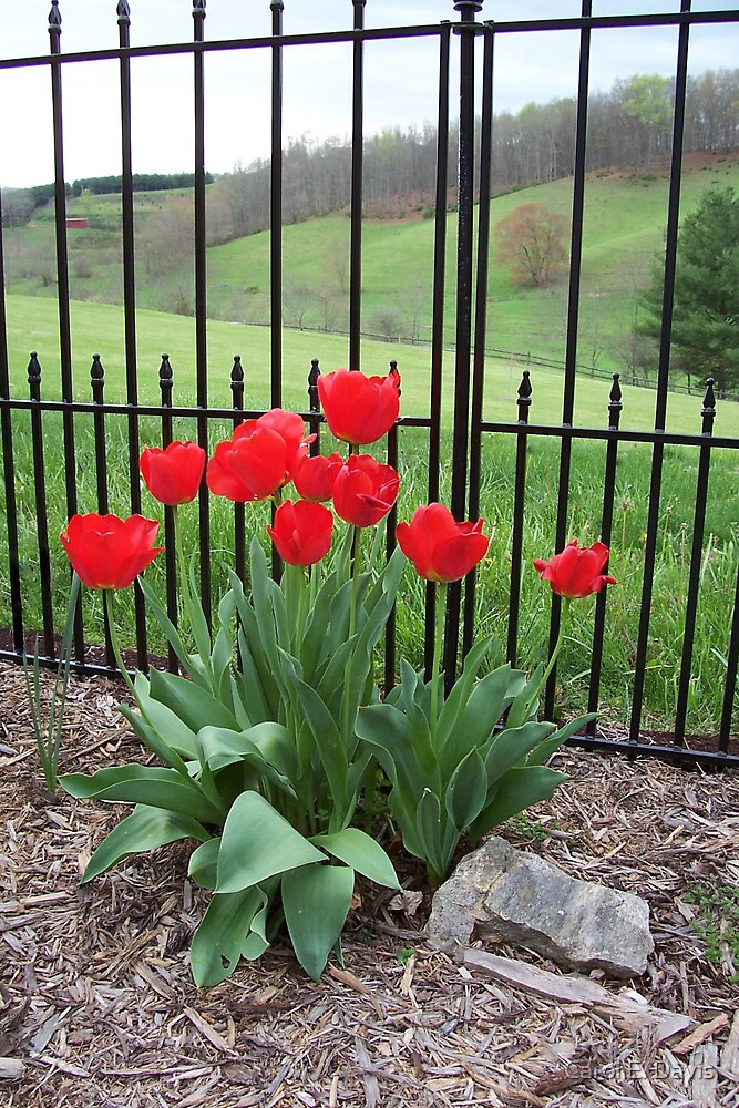 Cds Tulips by Carol E. Davis