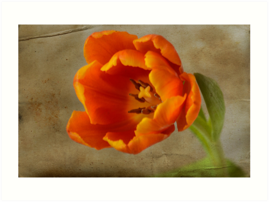 First tulip of 2013 by Nicole W.