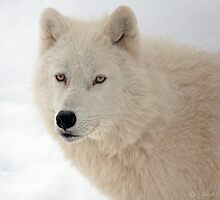 Winter in Canada trough the eyes of an Arctic Wolf by John44