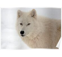 Winter in Canada trough the eyes of an Arctic Wolf Poster