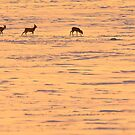 Roe deers in snowy field, pained by the setting sun by Remo Savisaar