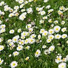 Little Daisies by Harald Walker