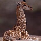 Baby Giraffe by Krys Bailey