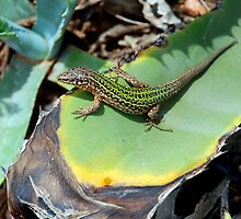 Ibiza Wall Lizard by Lucy Adams