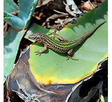 Ibiza Wall Lizard Photographic Print