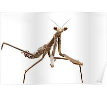 Monster Mantis (Archimantis monstrosa) Poster
