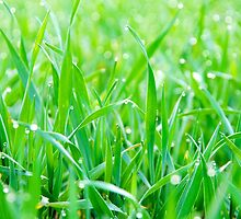 Morning dew on grass by Harald Walker