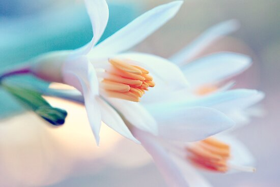 Little White Blossoms by Tracy Jones