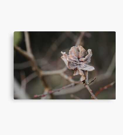 Willow Cabbage Gall, Landscape Canvas Print