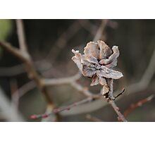 Willow Cabbage Gall, Landscape Photographic Print