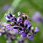 Lavender Bee  by reflectyours
