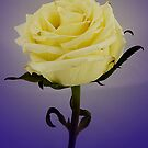 Rose 3 by Russell Fry