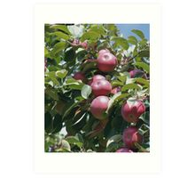 Red McIntosh Apples On The Tree Art Print