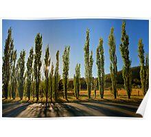 Poplar Trees, Grove, Tasmania Poster
