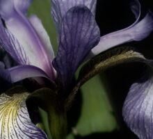 Intense Blue Flag Iris Flower Sticker