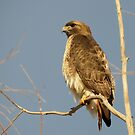 Red-tailed Hawk ~ Perch Perfect by Kimberly Chadwick