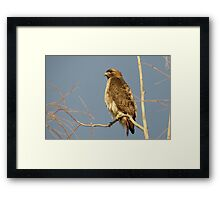 Red-tailed Hawk ~ Perch Perfect Framed Print