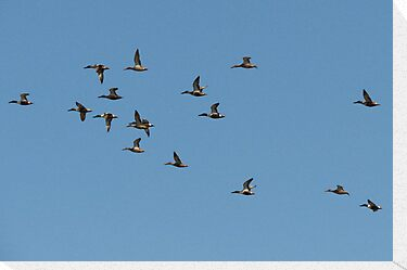 Northern Shovelers in Formation by Kimberly P-Chadwick