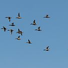 Northern Shovelers in Formation by Kimberly Chadwick