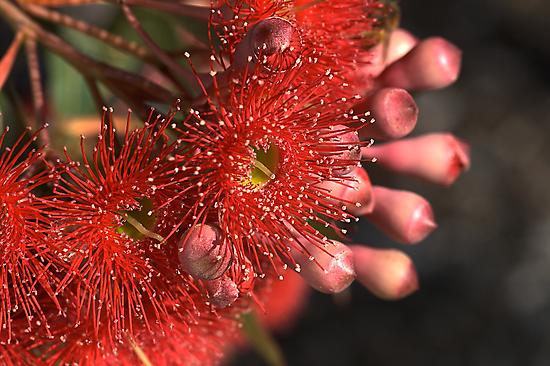Flowering Eucalyptus by Joy Watson