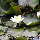 Water Lily's by Kayleigh Walmsley