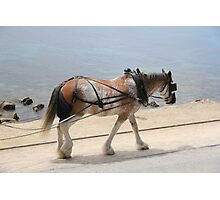 Draught Horse Photographic Print